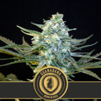Guanabana Feminised Cannabis Seeds | Blim Burn Seeds
