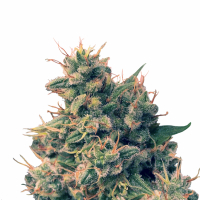 Guawi Feminised Cannabis Seeds | Ace Seeds