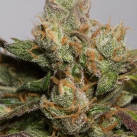 707 Truthband by Emerald Mountain Feminised Cannabis Seeds | Humbolt Seeds Organisation