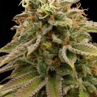 Lemon Thai Kush Regular Cannabis Seeds   Humboldt Seed Organisation
