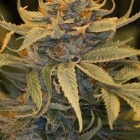 Lost Coast OG Feminised Cannabis Seeds   Humboldt Seed Organisation