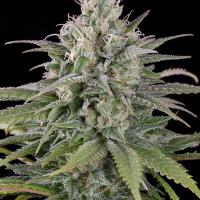 UK Cheese Auto Feminised Cannabis Seeds | Humboldt Seeds Organisation