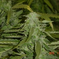 Hashberry Regular Cannabis Seeds