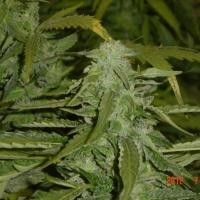Hashberry Regular Cannabis Seeds