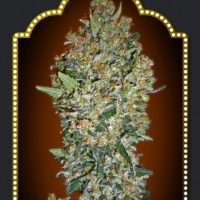 Hashchis Berry Feminised Cannabis Seeds | OO Seeds