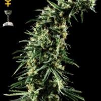 Buy Green House Seeds Hawaiian Snow Feminised Cannabis Seeds
