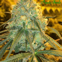Hawaiiana Feminised Cannabis Seeds - Anesia Seeds