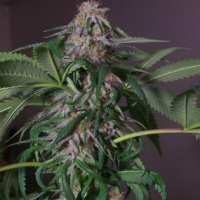 Blue Bubba Regular Cannabis Seeds | Hazeman Seeds