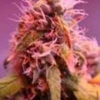 G-High Regular Cannabis Seeds | Hazeman Seeds