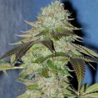 Madness Regular Cannabis Seeds | Hazeman Seeds