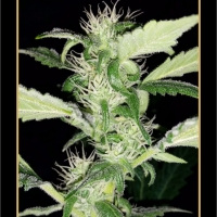 Heisenberg Special Auto Feminised Cannabis Seeds
