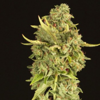 Hells Bells Feminised Cannabis Seeds | Devil's Harvest Seeds