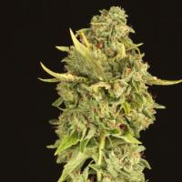 Hells Bells Feminised Cannabis Seeds   Devil's Harvest Seeds