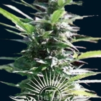 Hercules Auto Feminised Cannabis Seeds | 7 Dwarf Seeds