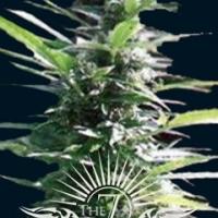 Hercules Auto Feminised Cannabis Seeds | 7 Dwarf Seeds