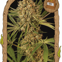 Herz OG Feminised Cannabis Seeds | Exotic Seeds