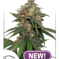 HiFi 4G Feminised Cannabis Seeds - Dutch Passion