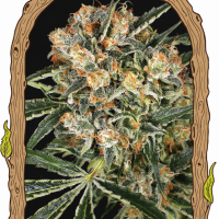 Hippie Therapy CBD Feminised Cannabis Seeds | Exotic Seeds