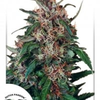 Hollands Hope Feminised Cannabis Seeds | Dutch Passion