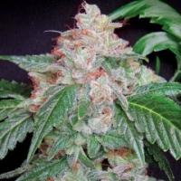 Starkush Regular Cannabis Seeds | Hortilab Seeds