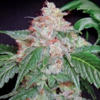 Starkush Regular Cannabis Seeds | Hortilab Seeds