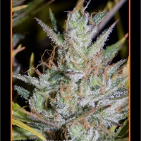 Hubbabubbasmelloscope Auto Feminised Cannabis Seeds