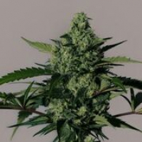 Hiydrow Feminised Cannabis Seeds | MM Genetics
