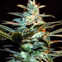 Ice Cool Feminised Cannabis Seeds | Sweet Seeds