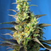 Ice Cool CBD Feminised Cannabis Seeds | Sweet Seeds