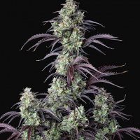 Auto Mimosa Cake Feminised Cannabis Seeds | Fast Buds