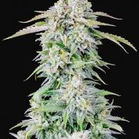 Auto Afghan Kush Feminised cannabis Seeds | Fast Buds Originals.
