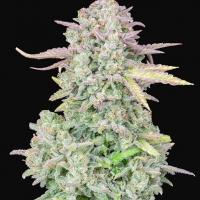 Auto Trainwreck Feminised cannabis Seeds | Fast Buds Originals