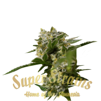 Ibiza Farmers Feminised Cannabis Seeds - Super Strains