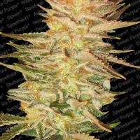 Ice Cream Feminised Cannabis Seeds | Paradise Seeds