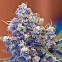 Buy Female Seeds Iced Grapefruit Feminised Cannabis Seeds