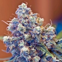 Iced Grapefruit Feminised Cannabis Seeds | Female Seeds