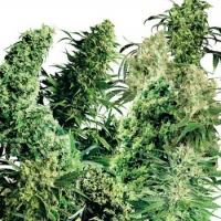 Indoor Mix Regular Cannabis Seeds (25 seeds) | Sensi Seeds