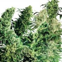 Indoor Mix Regular Cannabis Seeds (25 seeds) | Sensi Seeds