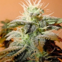 Buy Female Seeds Indoor Mix Feminised Cannabis Seeds
