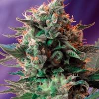 Jack 47 Feminised Cannabis Seeds | Sweet Seeds