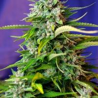 Auto Jack 47 Feminised Cannabis Seeds | Sweet Seeds