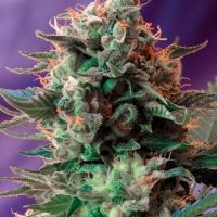 Jack 47 F1 Fast V Feminised Cannabis Seeds | Sweet Seeds