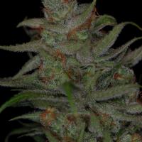 Jack Skellington Regular Cannabis Seeds | TGA Seeds