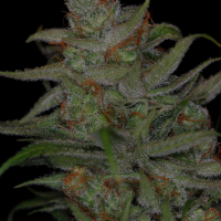 Jack Skellington Regular Cannabis Seeds | TGA Seeds