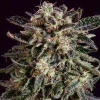 JACK FLASH x SCBDX Feminised Cannabis Seeds