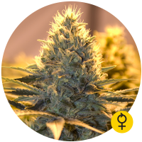 Jack Herer Auto Feminised Cannabis Seeds | Bulldog Seeds