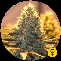 Jack Herer Auto Feminised Cannabis Seeds | Bulldog Seeds