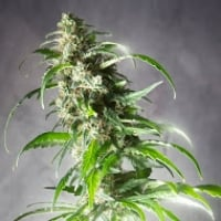Jack F1 Feminised Cannabis Seeds | Spliff Seeds