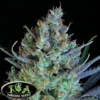 Jacked Up Regular Cannabis Seeds | TGA Seeds
