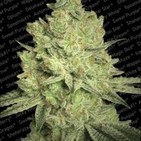 Jacky White Feminised Cannabis Seeds | Paradise Seeds
